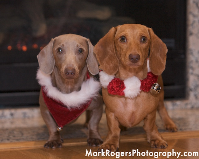 Lenny and Gus: Weiner Dogs Extraordinaire
