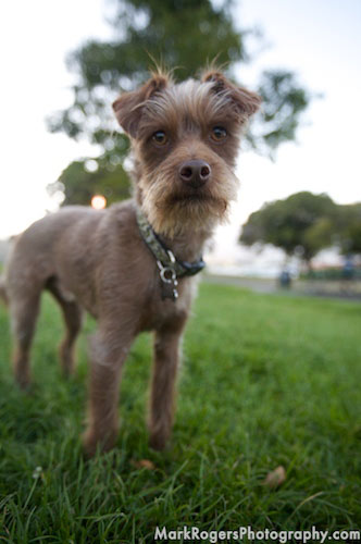 Jeeves: A Terrier At Dolores Park