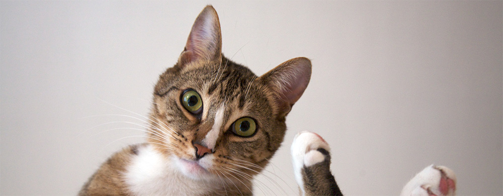 Cat Photography - Tabby Cat Looking at Camera