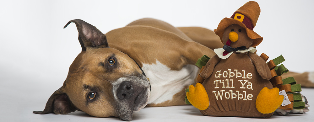 boxer pit bull dog with thanksgiving toy