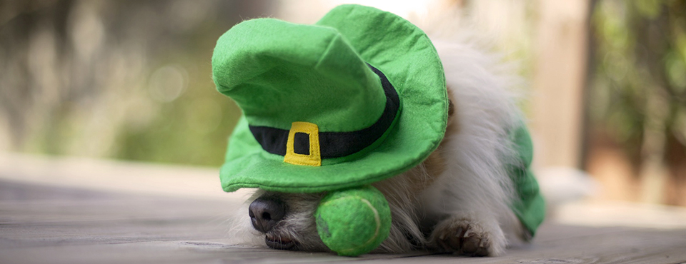 sleeping dog in leprechaun costume
