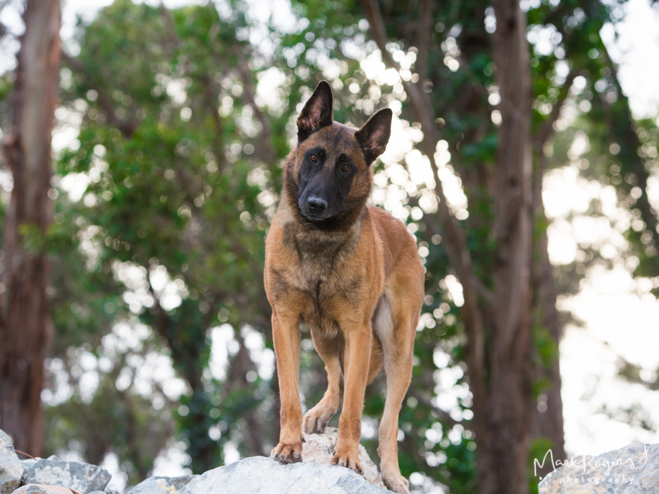 Belgian Malinois K-9 Police Dog on rock