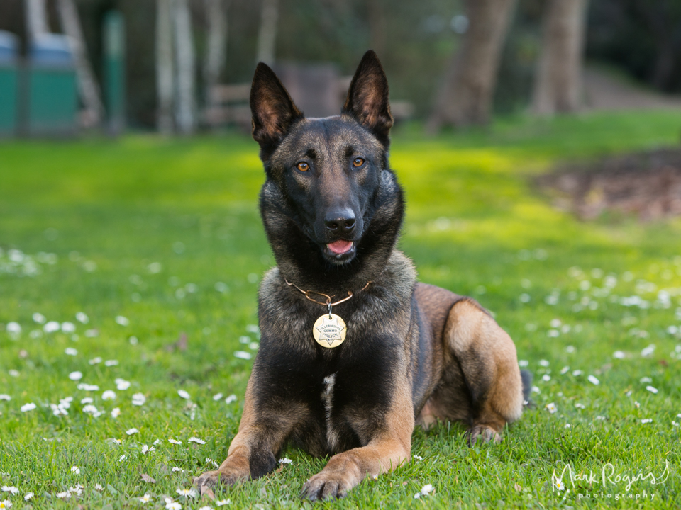 German shepherd K-9 police dog with Hillsborough Police Department