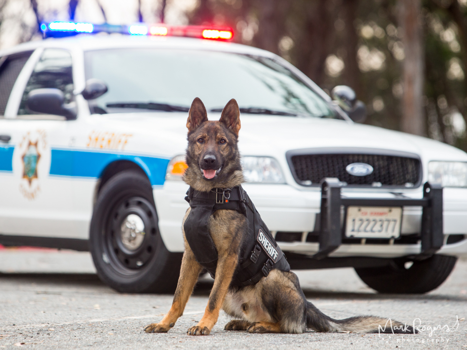 K9 German Shepherd sitting in front of police car