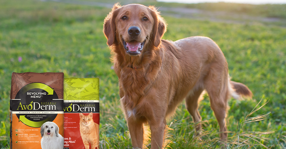 golden retriever photographed for dogfood ad
