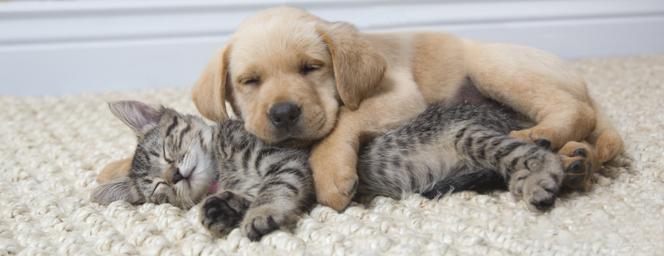 cute labrador retreiver puppy sleeping on top of a tabby kitten