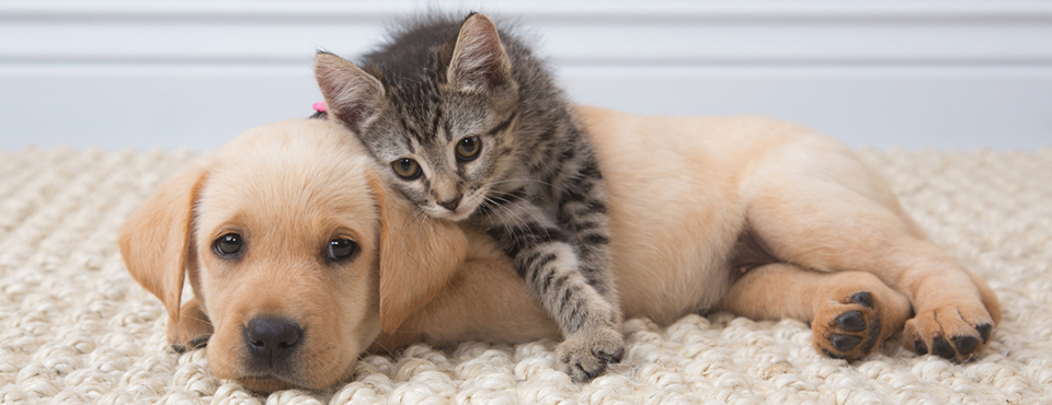 labrador puppy and tabby kitten