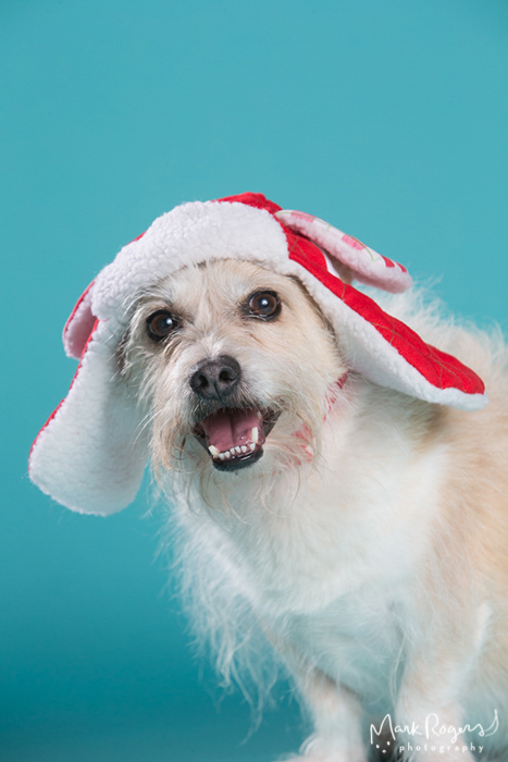 Cute terrier mix in holiday hat