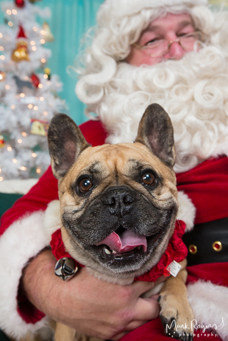 french bulldog smiling in Santa's lap
