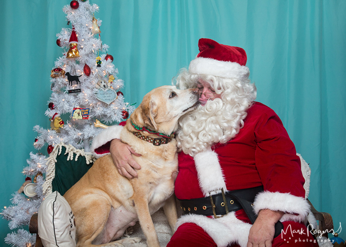 yellow labrador kissing santa claus