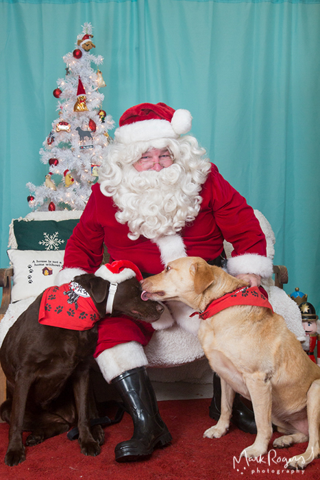 labrador retrievers licking each other in front of santa