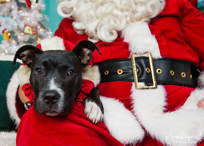 pit bull puppy with santa claus