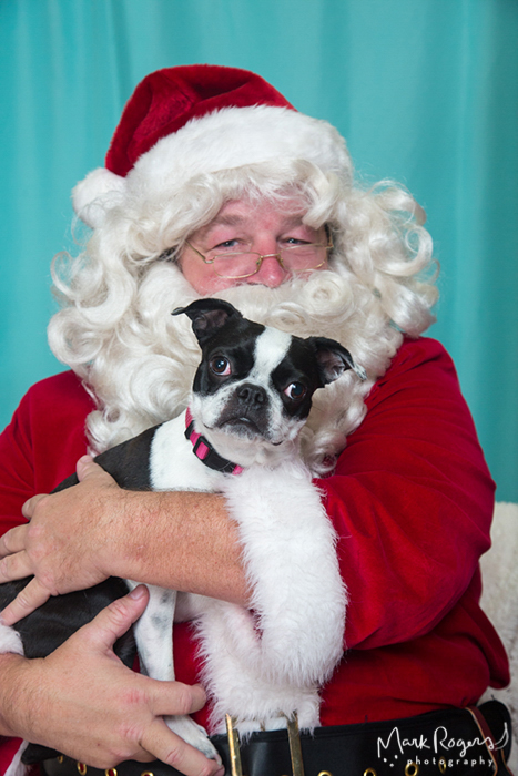 santa holding boston terrier