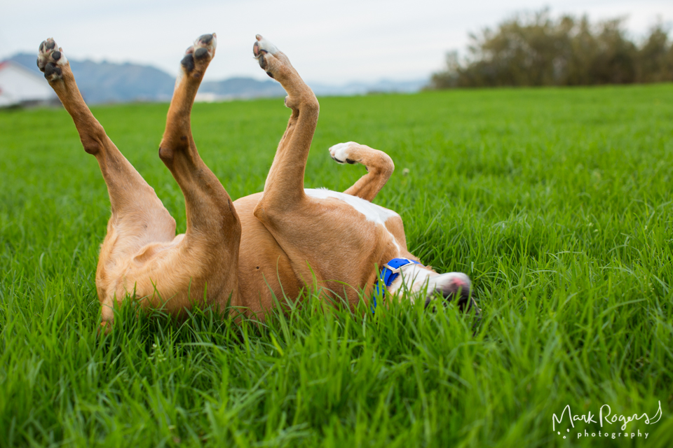 brown and white dog rolling in grass