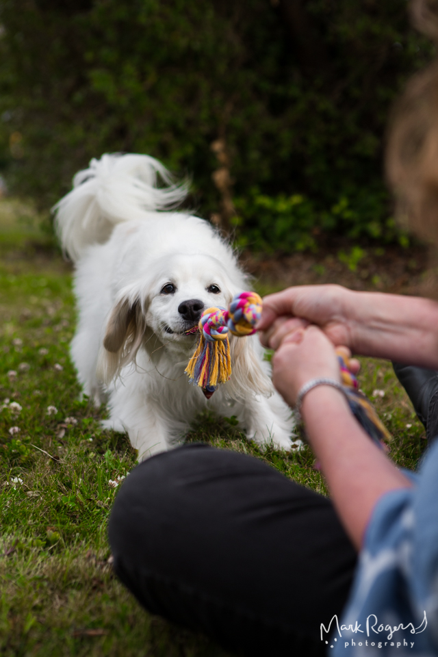 white clumber spaniel playing tug of war with person