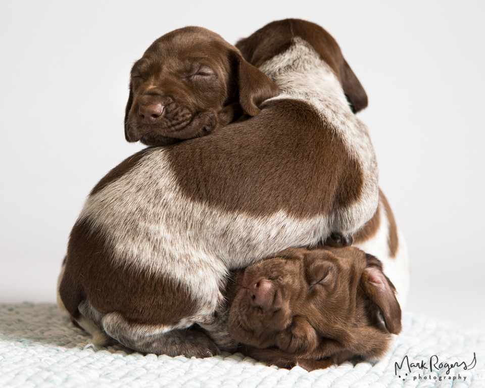 three pointer puppies asleep in a pile