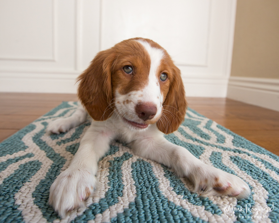 Brittany Spaniel grinning