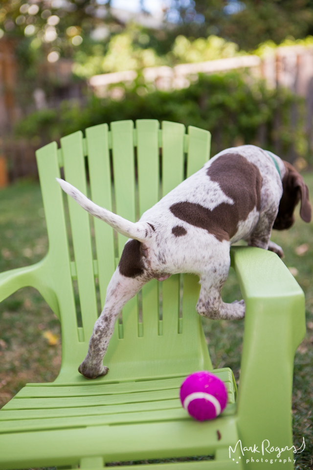 puppy climbing out of chair
