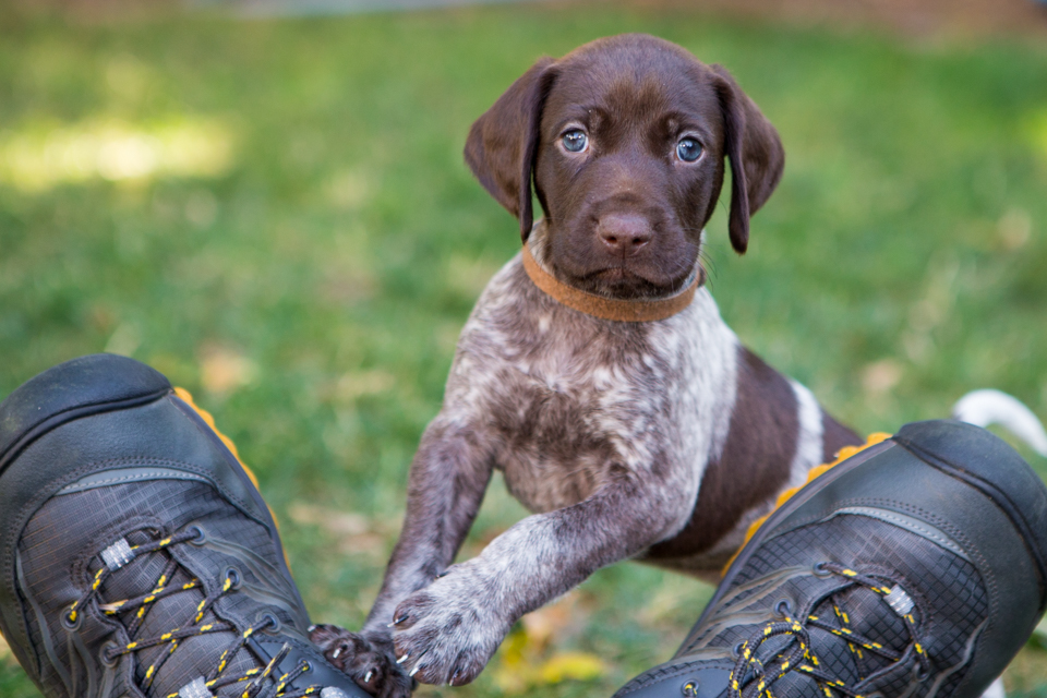 german shorthaired pointer puppy on a pair of shoes