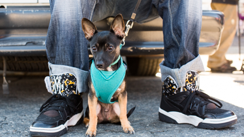 minpin puppy next to shoes