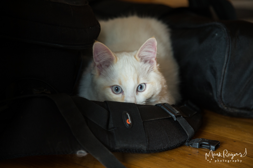 white kitten hiding behind camera bag