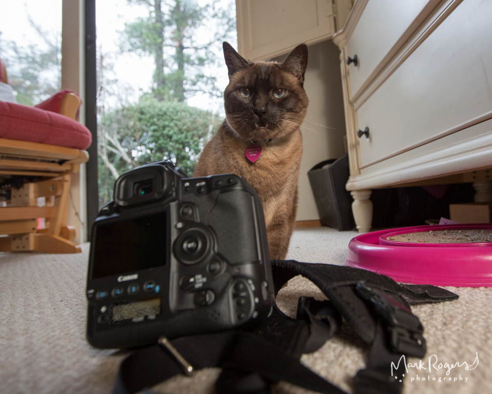 Siamese cat with silly face looking at canon camera
