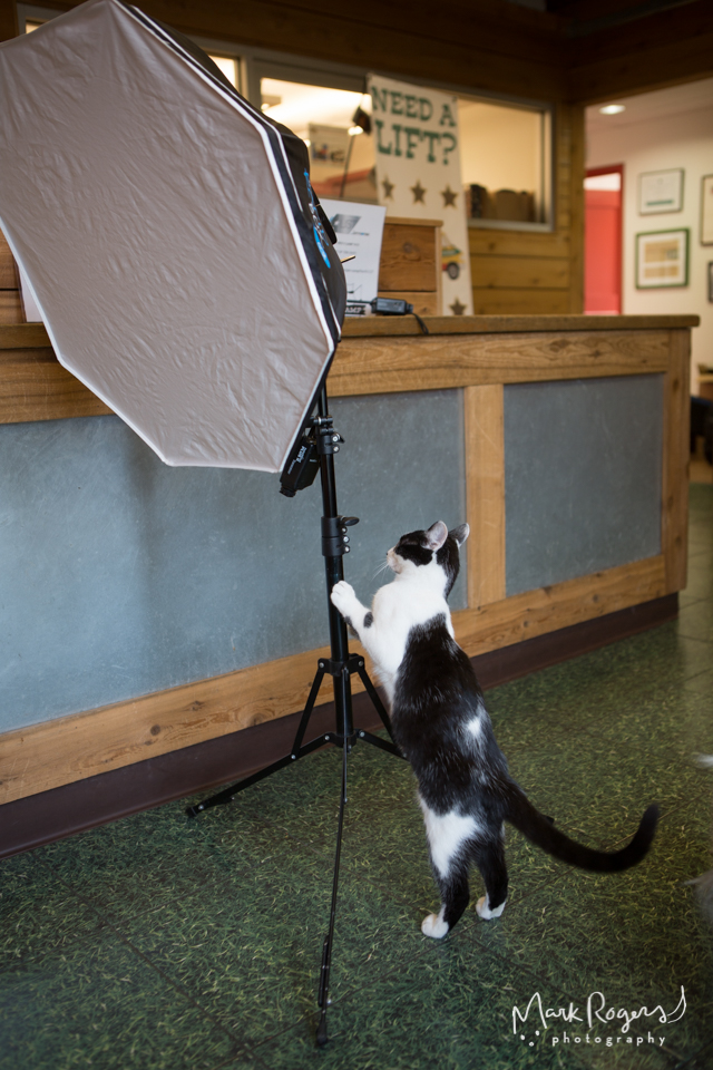 black and white tuxedo cat on photographers light stand