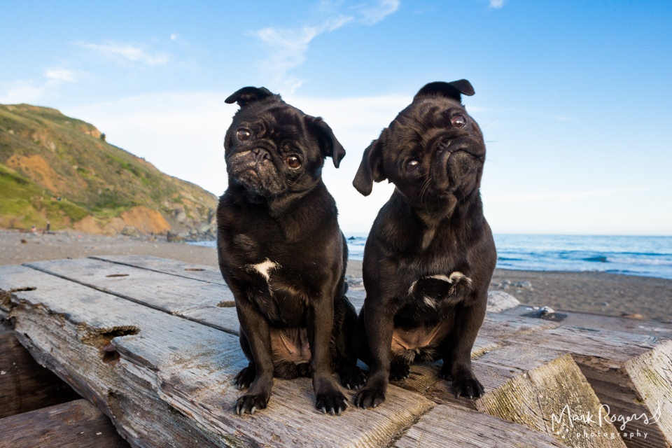 two pugs tilting their heads while on a beach