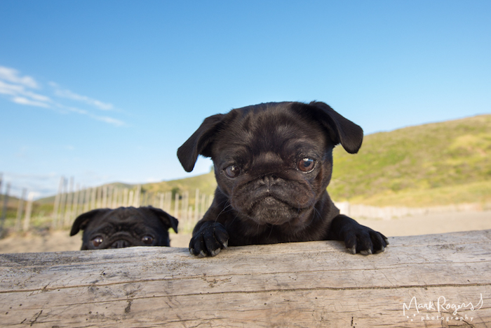 black pugs hiding behind a log at a beach