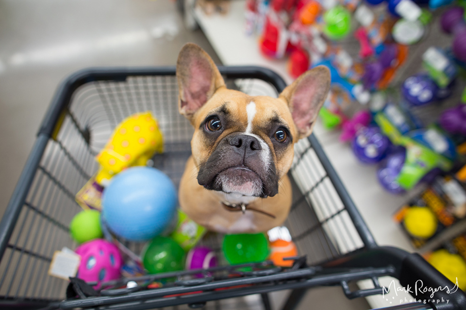 french bulldog in shopping cart with toys