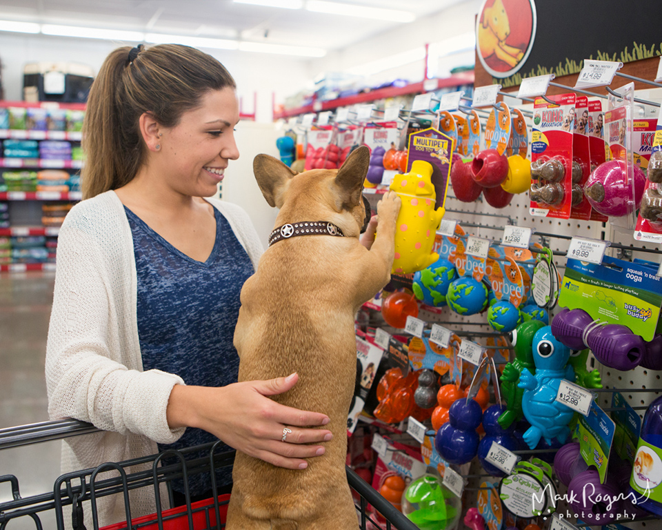french bull dog puppy choosing toy with owner