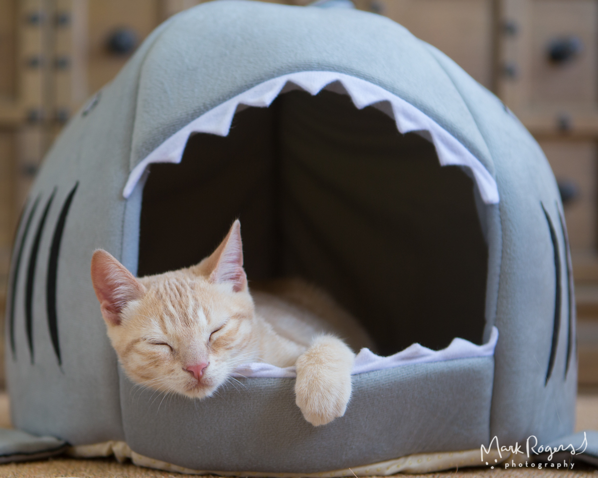 kitten-sleeping-shark-bed