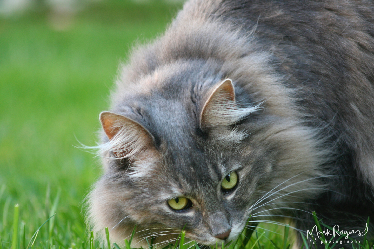 maine-coon-cat-grass