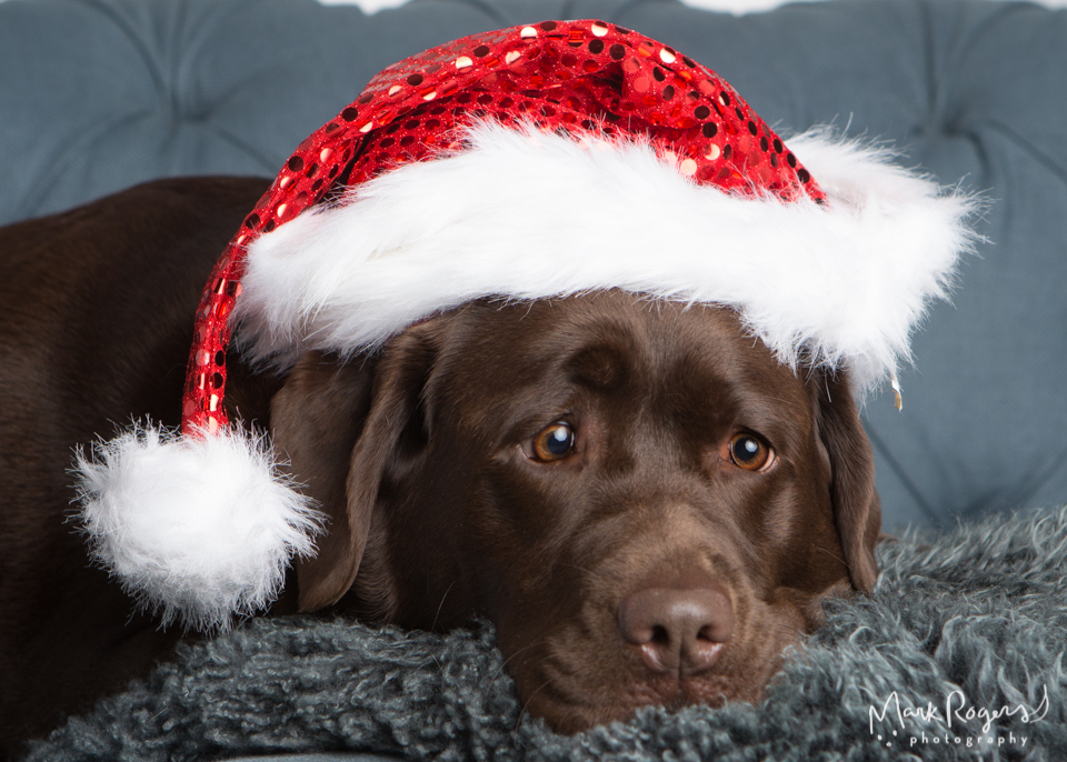 labrador dog in santa hat with funny face
