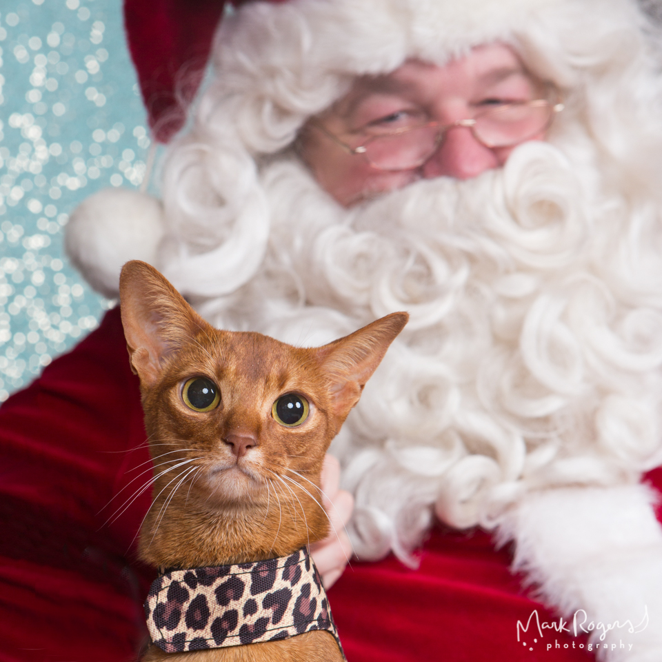 angry abyssinian cat with santa