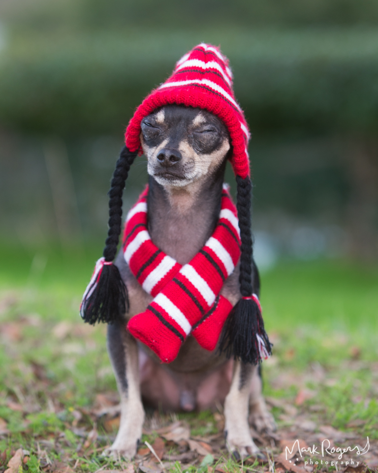 Chihuahua in holiday hat and sweater