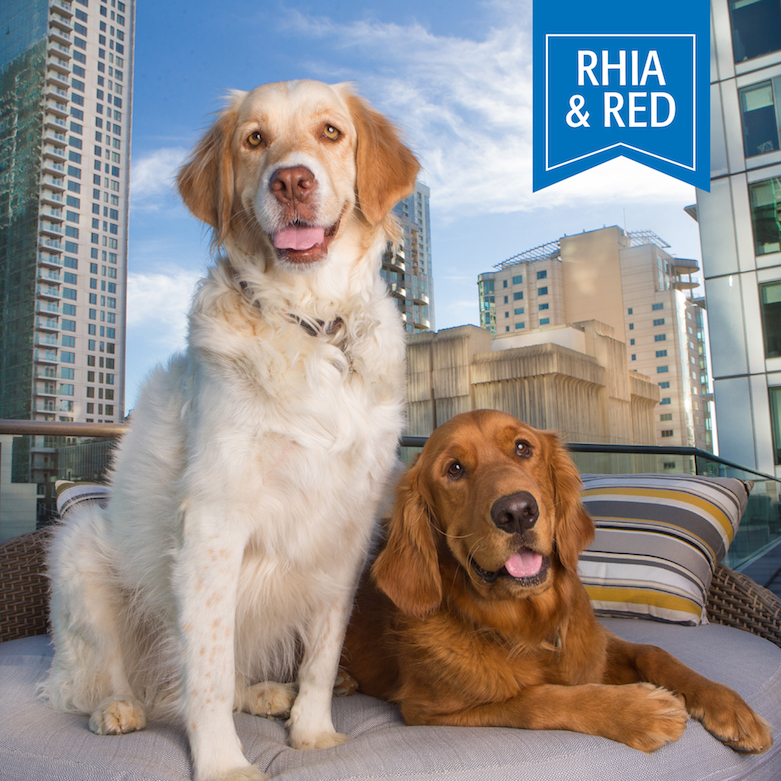 golden retriever dogs on chair for pet calendar photo