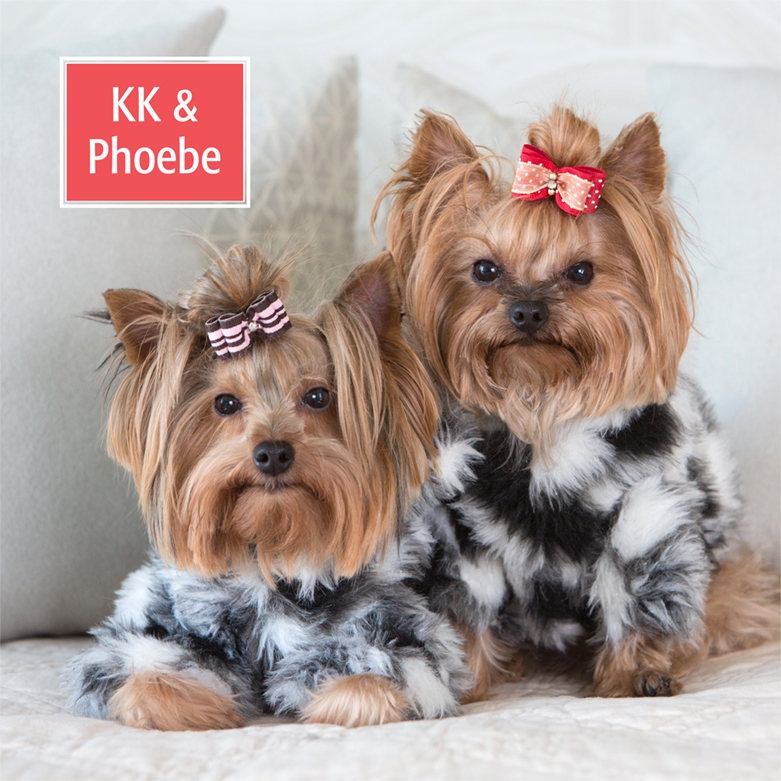 yorkies in coats for pet calendar photo