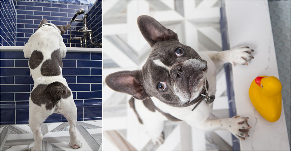 French bulldog looking up
