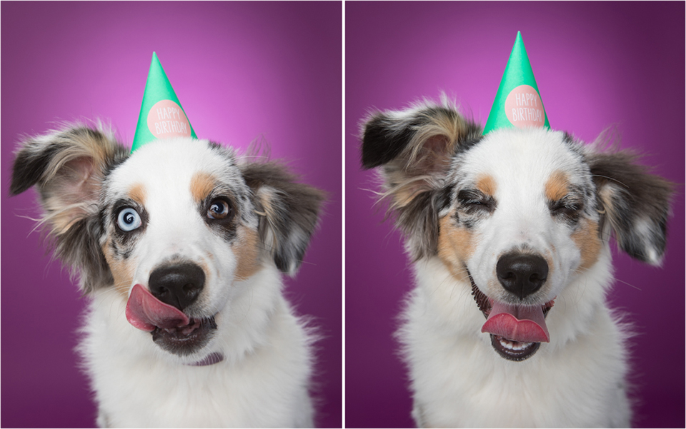 Australian shepherd puppy making funny faces while wearing birthday hat