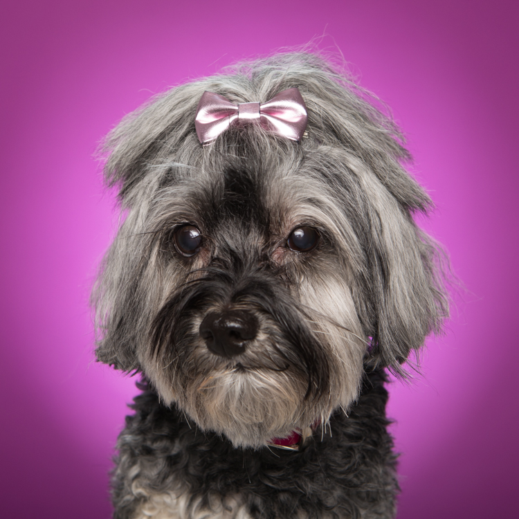 grey dog with pink bow in hair against purple background