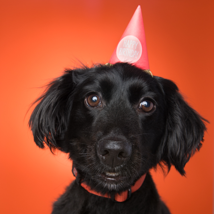 cute little black dog with birthday hat