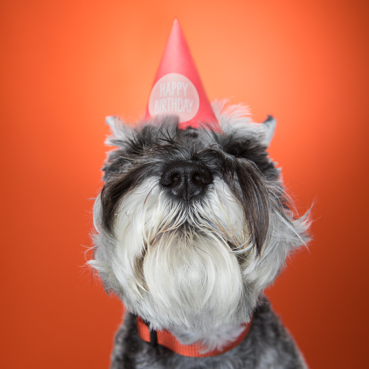 Schnauzer dog with birthday hat over eyes against orange background