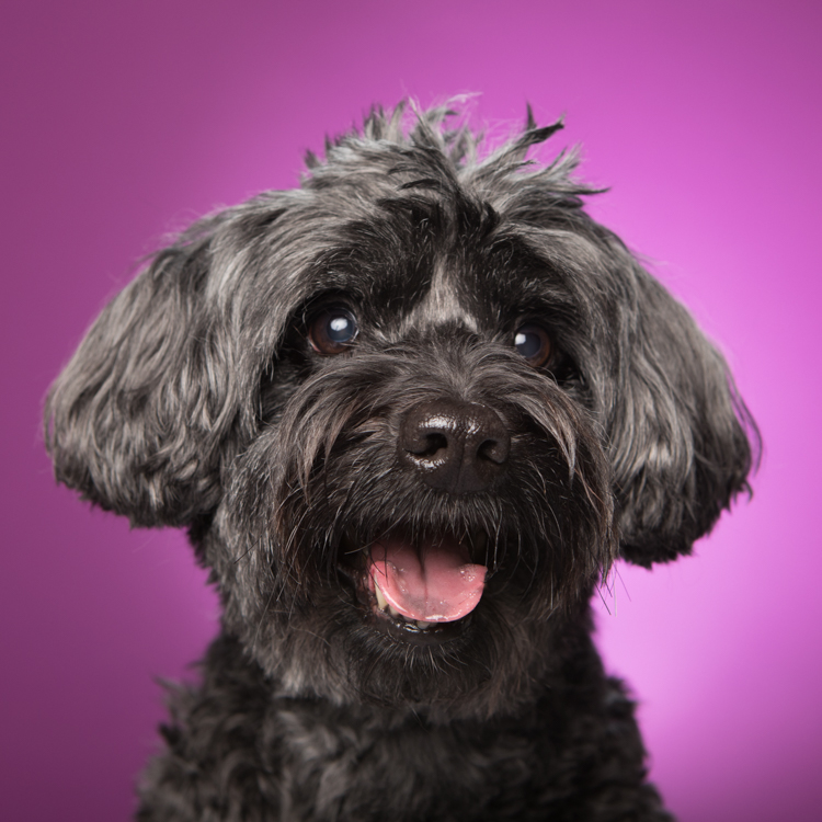 happy black dog against purple background