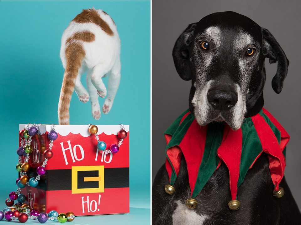 White and orange cat leaping out of box and older great dane in holiday costume