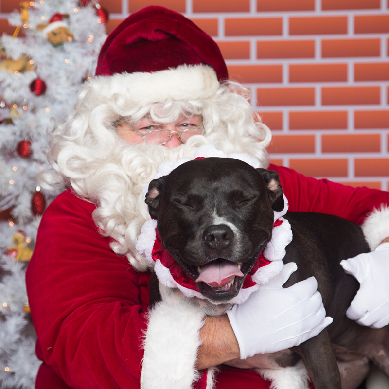 Pitbull laughing with eyes closed and Santa