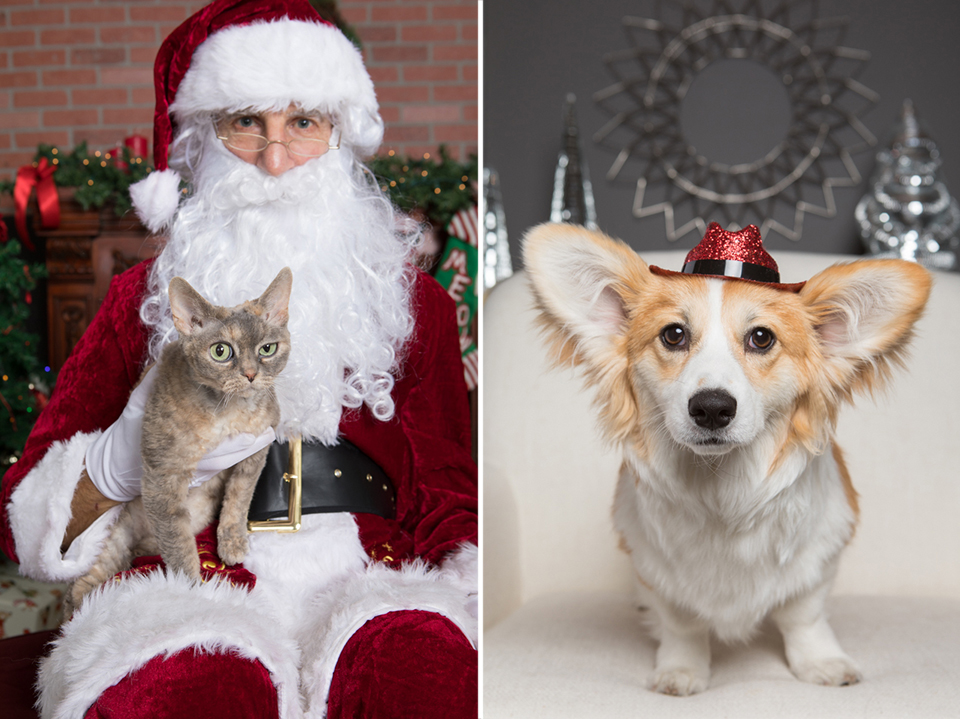 squinting green eyed cat with santa and corgi dog with hat