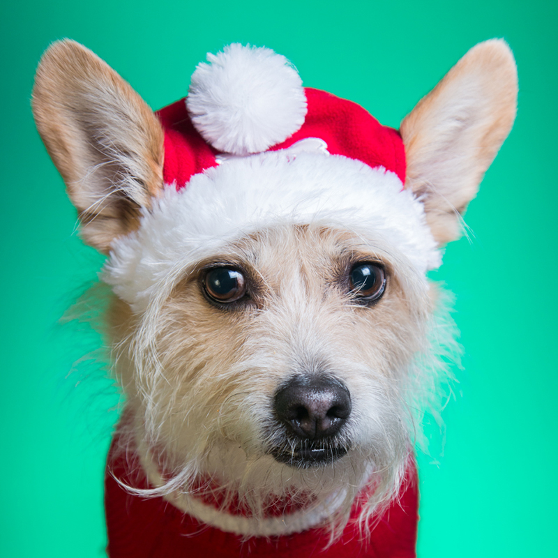 nervous looking terrier dog in santa costume